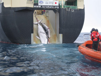 1200px-japan_factory_ship_nisshin_maru_whaling_mother_and_calf