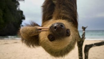 sloth-beach-upside-down.jpg.adapt.945.1