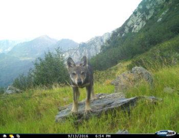 Wolfswelpe (Fotofalle Tessin) - zvg