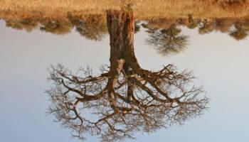 Affenbrotbaum-verliert-Blätter