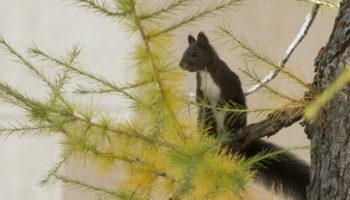 Eichhörnchen mit braunschwarzer Fellfärbung (Bild: Cornelia Hürzeler)