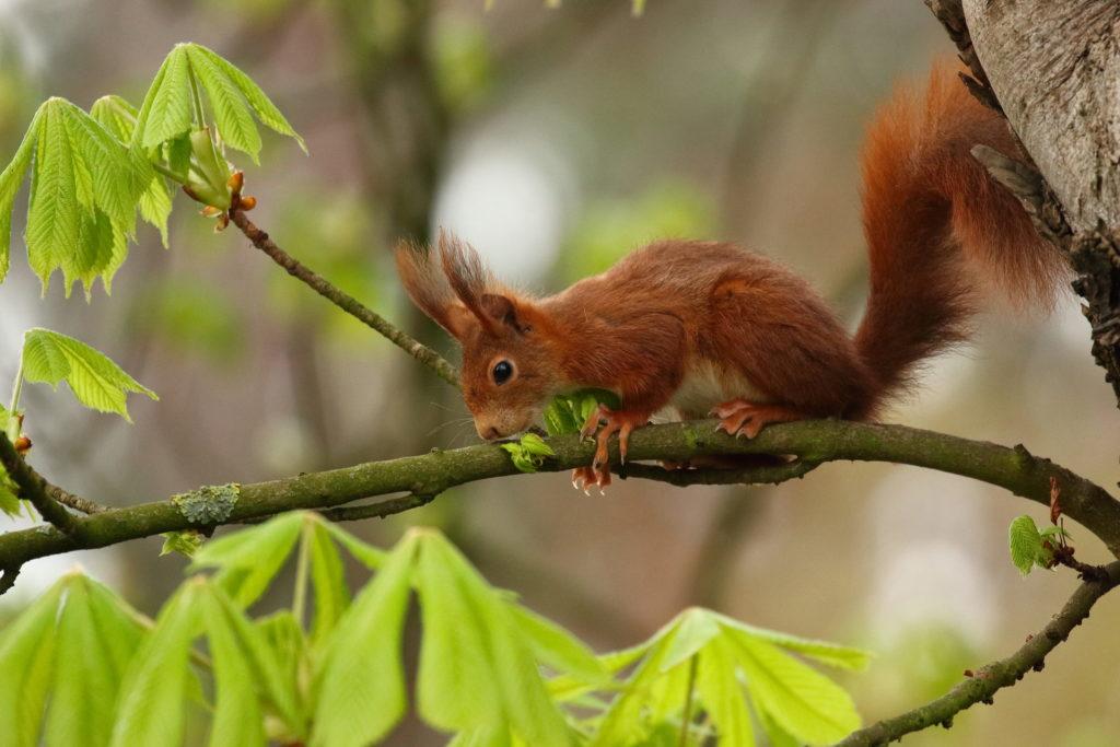 Eichhörnchen mit fuchsroter Fellfärbung (Bild: Marcus Bohler)