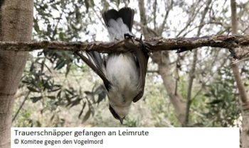 leimrute zugvogel