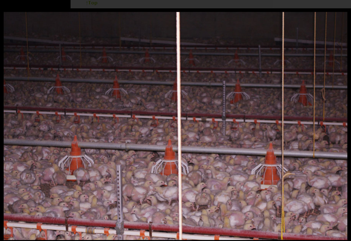 So leben Masthühner in einer Massentierhaltung